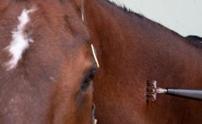 Anwendung EquCell Pen beim Pferd