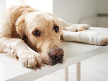 Hund mit Arthroseproblemen